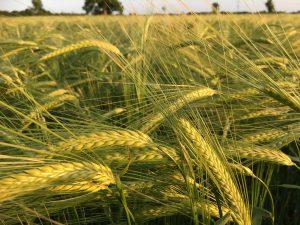Malting barley at TMAF Plant2pint trials